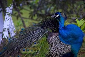 male peacock image